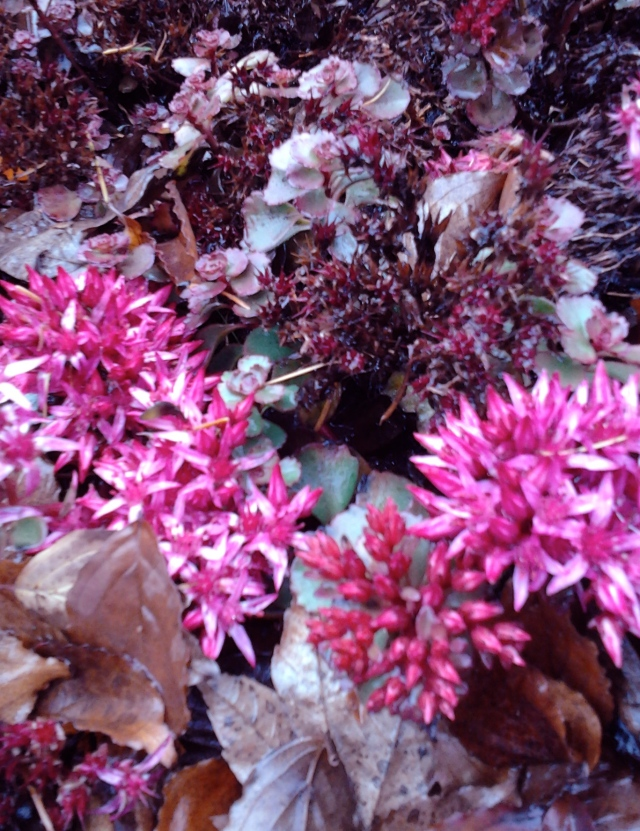 Ice plant and succulents on stone