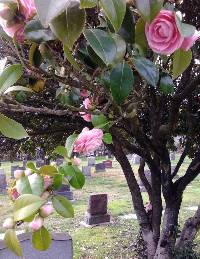 3.12.16 camellia pink