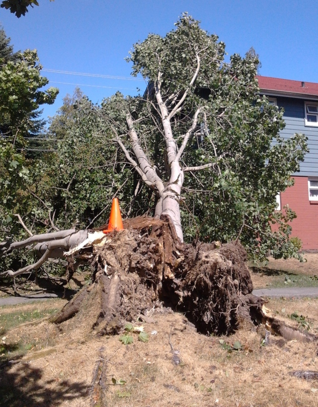 8.29.15 tree 3 poplar