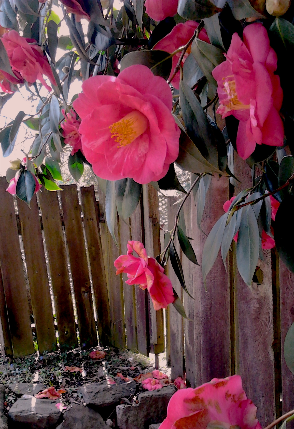Alley Fence Camellias 4.9.2017 copy