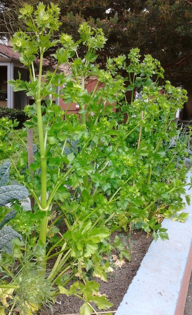 celery row