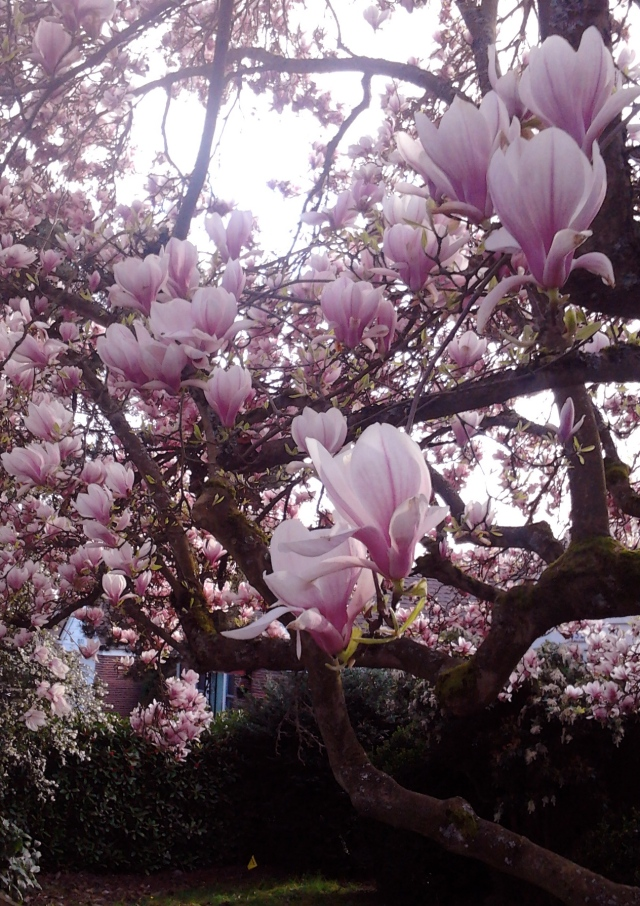 Magnolia 3.23.16 b