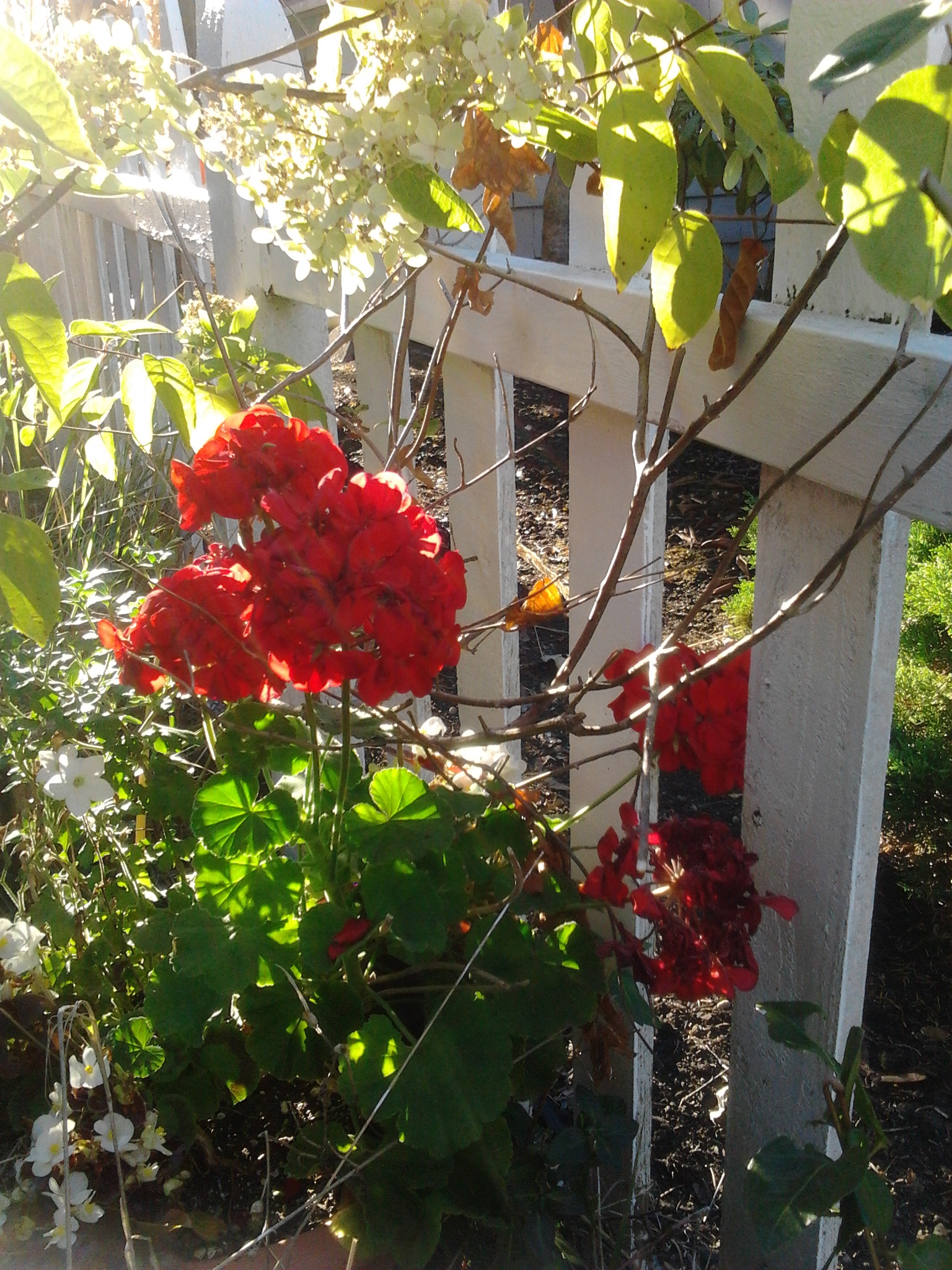 picket-fence-geraniums-9-21-2016
