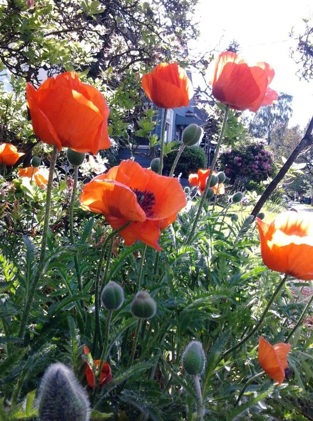 poppies 5.19.14