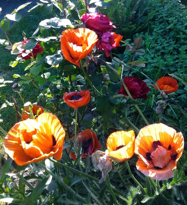 poppies and roses 6.6.15