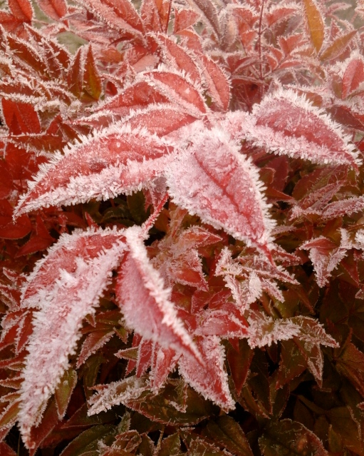 frost on red