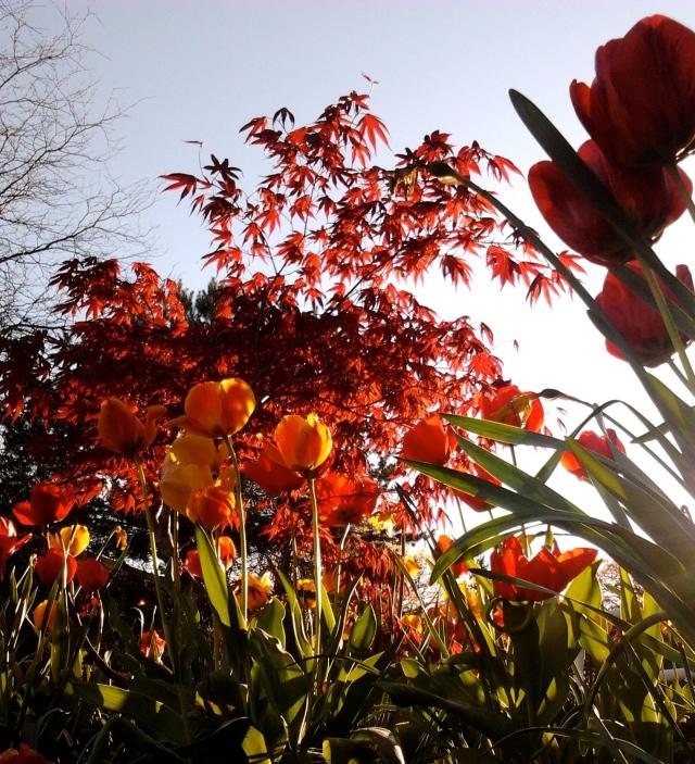 tulips 4.22.13