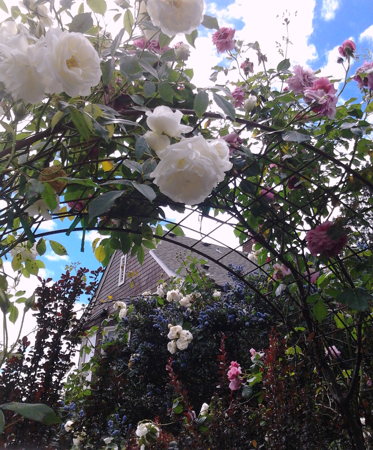 White Rose Arch 6.2017