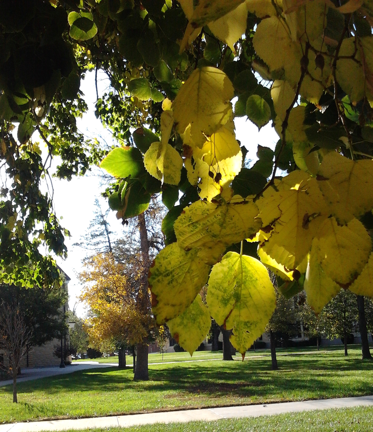 Campus linden tree
