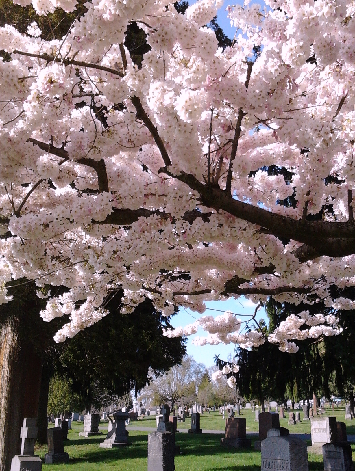 Cherry Blossoms 3.31.2018 Holy Saturday c.jpg
