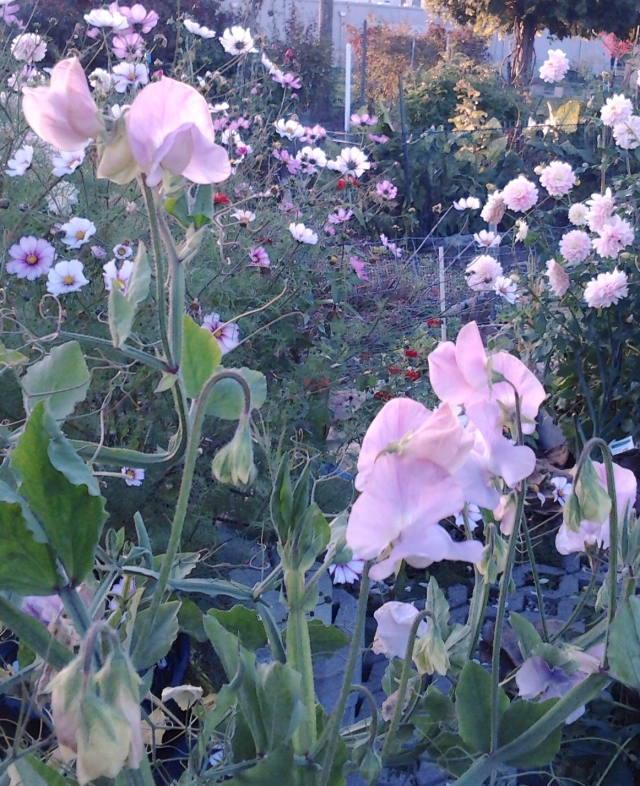 10.20.18 Sweetpeas P Patch Magnuson 2