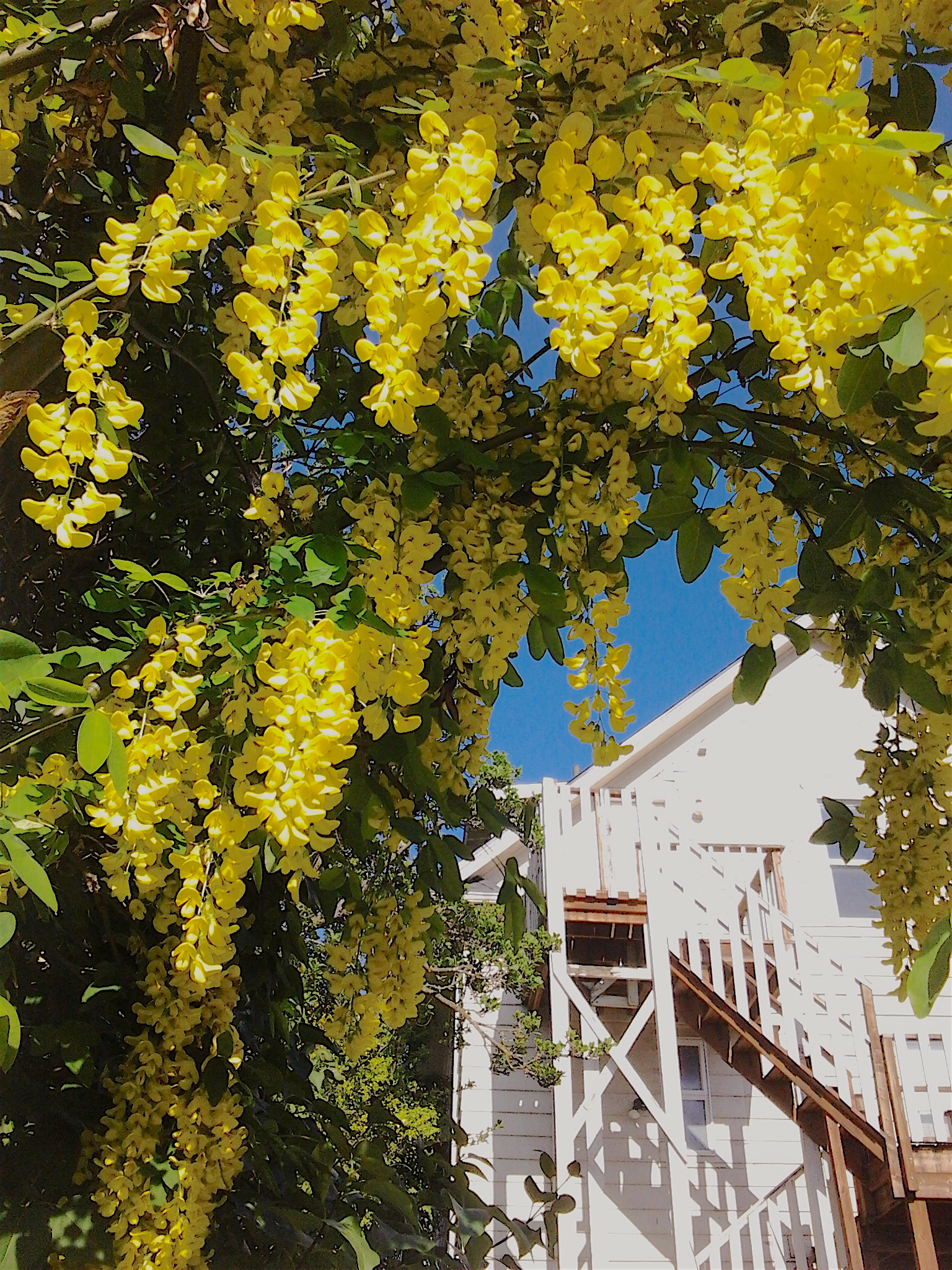This image has an empty alt attribute; its file name is laburnum-white-house-alley-5.7.2018.jpg
