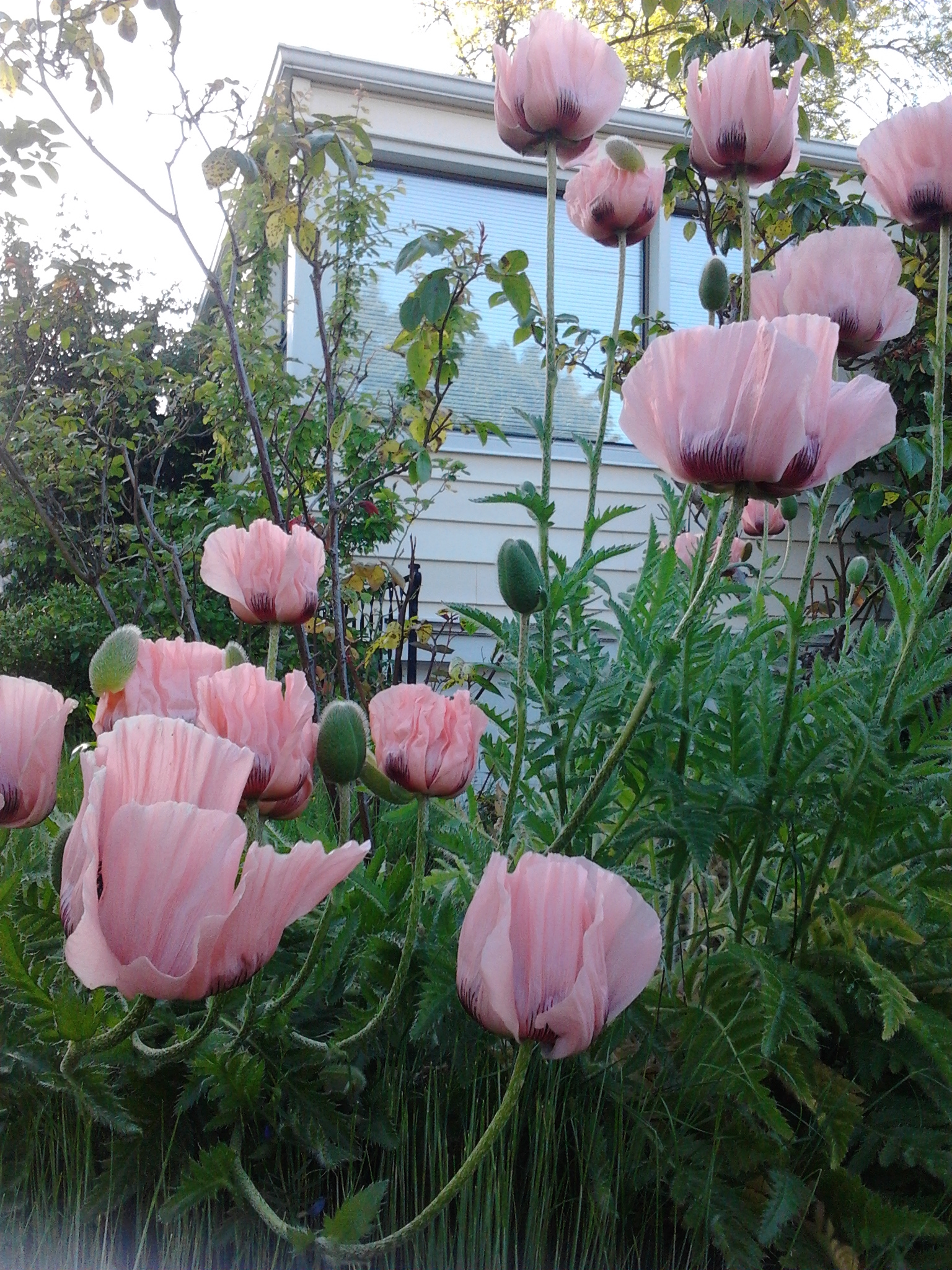 This image has an empty alt attribute; its file name is poppies-pink-house-5.29.2017.jpg