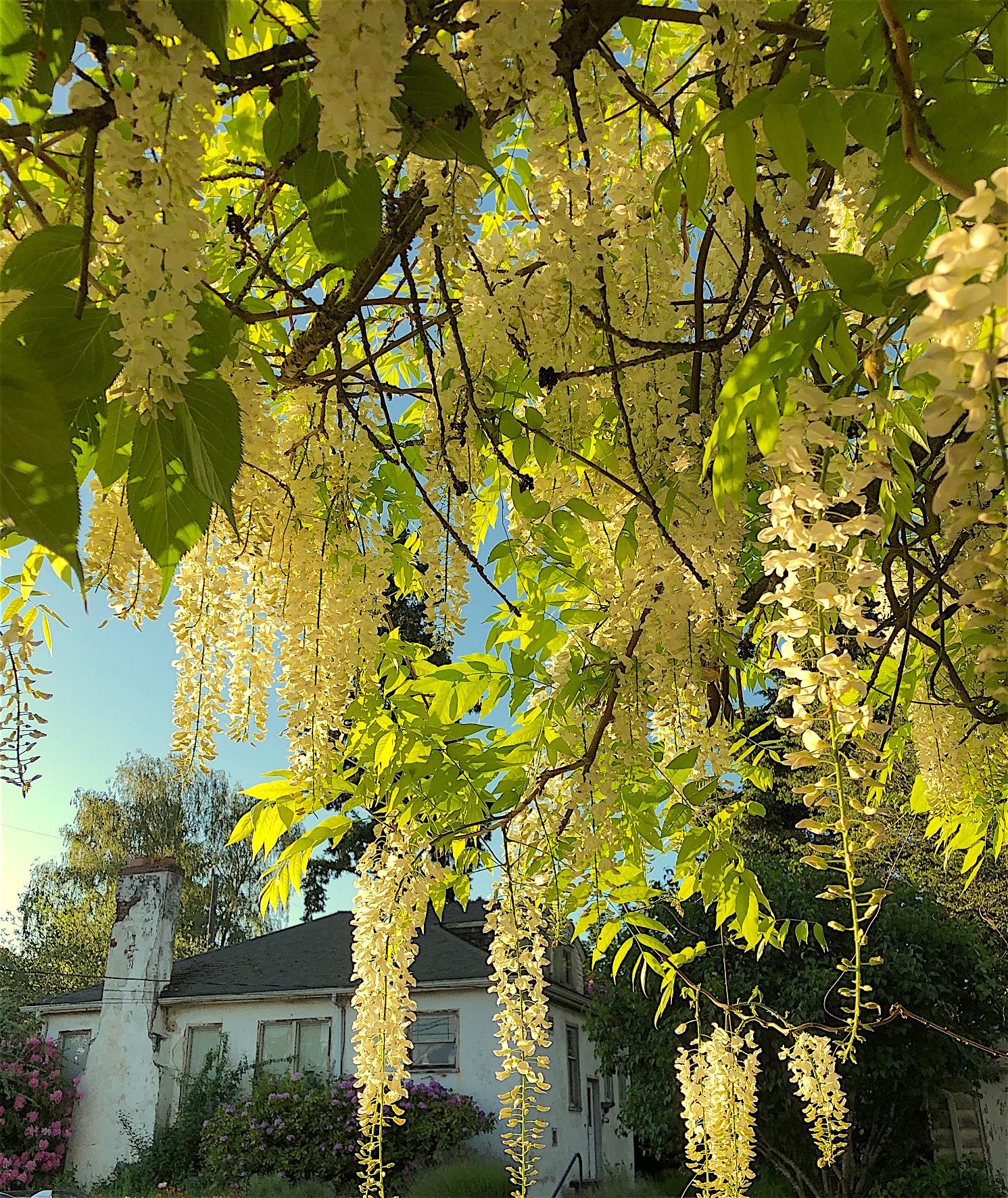 White Wisteria White Cottage 5.18.20
