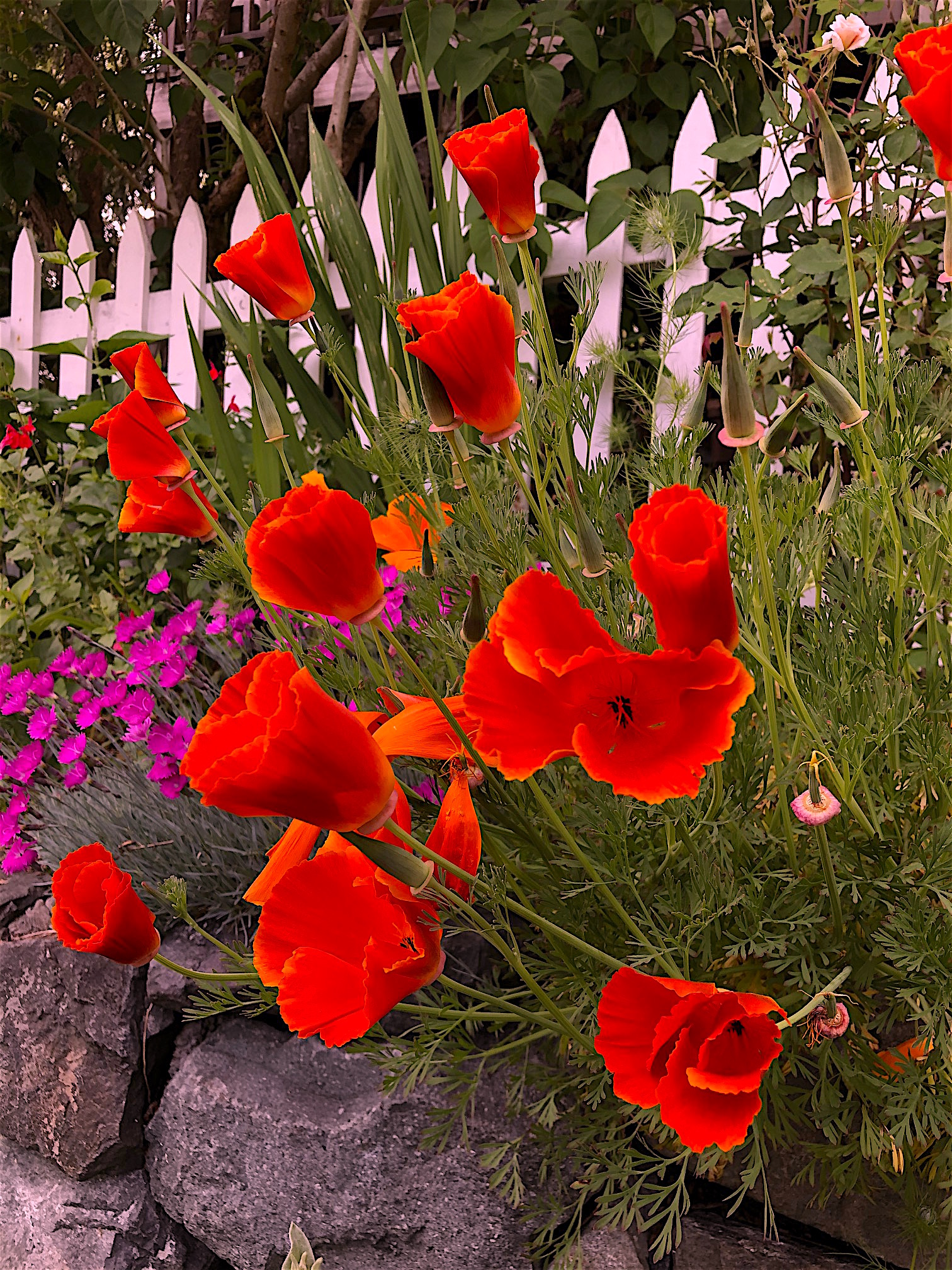 Red Calif poppies 5.18.2020