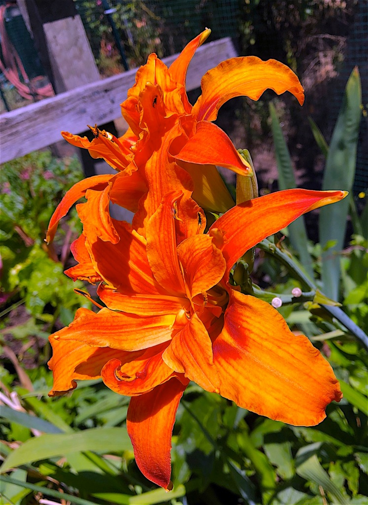 tiger lily, purely decorative